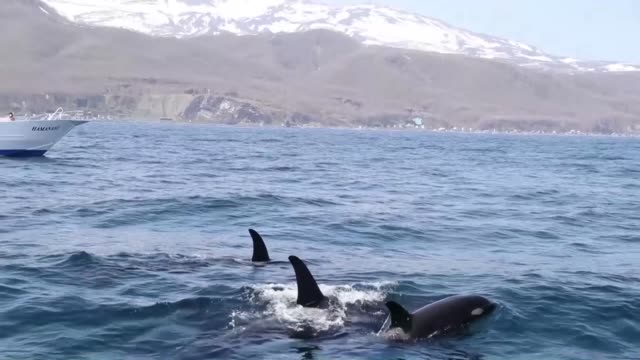 A pod of killer whales swim in waters off Rausu on the Shiretoko Peninsula on Japan's northernmost main island of Hokkaido on May 10 2017 The range...
