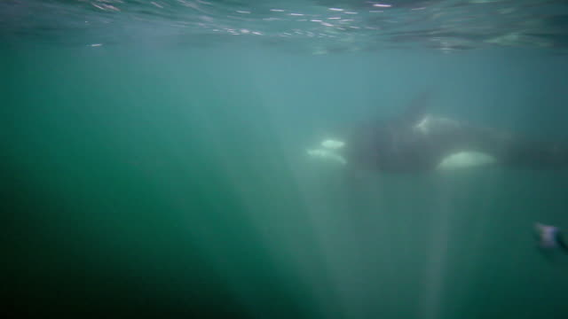 stockvideo's en b-roll-footage met pod of killer whales underwater - cetacea