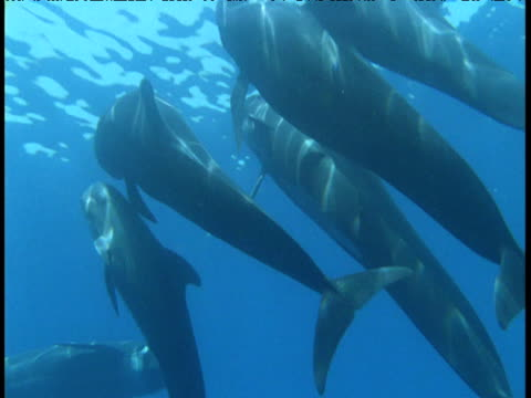 pod of long finned pilot whales swim near surface, spain - cetaceo video stock e b–roll