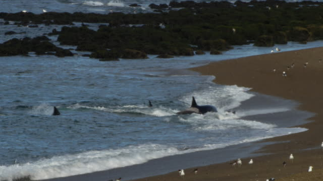 vidéos et rushes de pod of orcas capture sea lion puppy from the beach in punta norte - épaulard