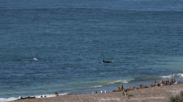 vidéos et rushes de pod of orcas checking out sea lion colony on the beach in punta norte - lion de mer
