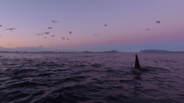 vídeos de stock, filmes e b-roll de a pod of orcas hunting after sunset in norway - bando de mamíferos marinhos