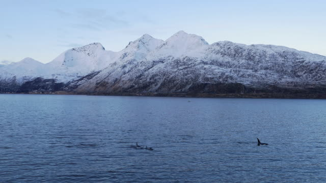 a pod of orcas is swimming in northern norway - pod group of animals stock videos & royalty-free footage
