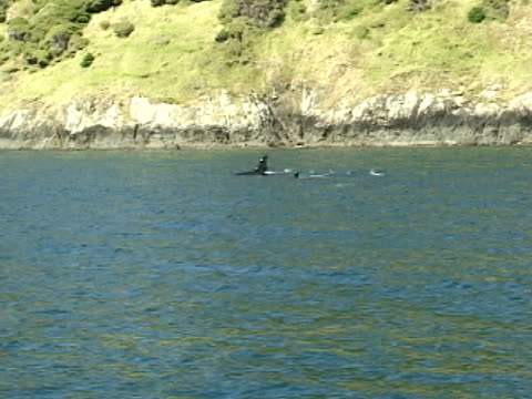 pod of orcas, killer whales, surfacing