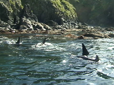 pod of orcas, killer whales, swim in small lagoon