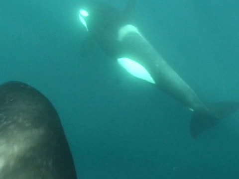 pod of orcas, killer whales,