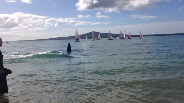 pod of orcas, more commonly known as killer whales, came close to swimmers at auckland's kohimarama beach on sunday, august 28. witness nick poortman... - killer whale stock videos & royalty-free footage