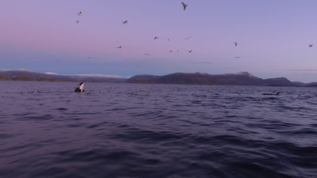 A pod of Orcas spy hopping after sunset in Norway