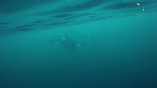 Pod of orcas swim by, in the Kaldfjord area of northern Norway.
