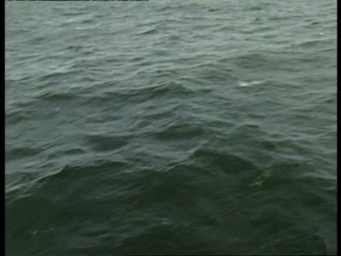 vidéos et rushes de ms pod of peales dolphin, lagenorhynchus australis, swimming in sea, antarctica - groupe de mammifères marins