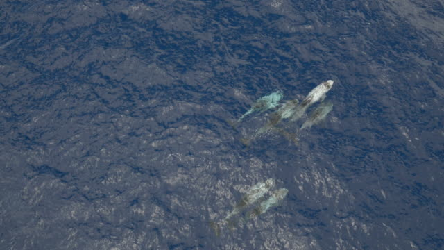 pod of risso dolphins swimming in calm ocean, aerial view - common dolphin stock videos & royalty-free footage
