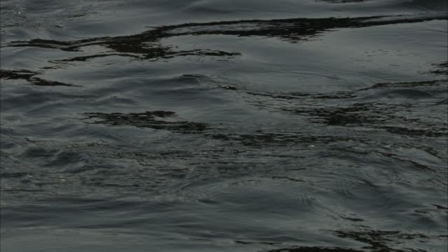 a pod of sea lions raises their heads in gently ripping ocean water. - 水生哺乳類点の映像素材/bロール