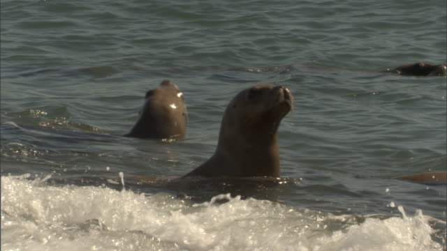 a pod of seals watches for possible orca attacks. - provinz chubut stock-videos und b-roll-filmmaterial