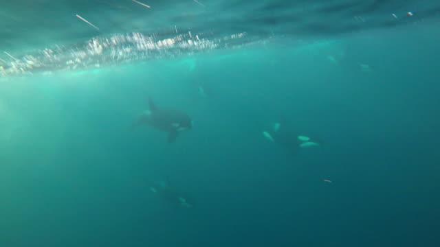 pod of several killer whales swim past the camera, near skjervoy northern norway. - schwertwal stock-videos und b-roll-filmmaterial