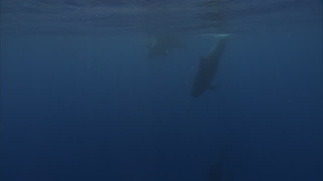pod of short finned pilot whales (globicephala macrorhynchus), hawaii - pod of whales stock videos & royalty-free footage