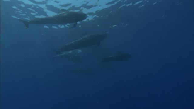Pod of short finned pilot whales (Globicephala macrorhynchus), Hawaii