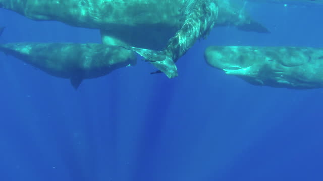 a pod of sperm whale calves in a social gathering at the surface, one of the males has his penis exposed, off the north western coast of mauritius. - sperm whale stock videos & royalty-free footage