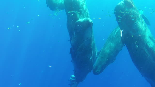 a pod of sperm whale calves socializing on the surface amongst a school of tropical fish, north western coast of mauritius. - sperm whale stock videos & royalty-free footage
