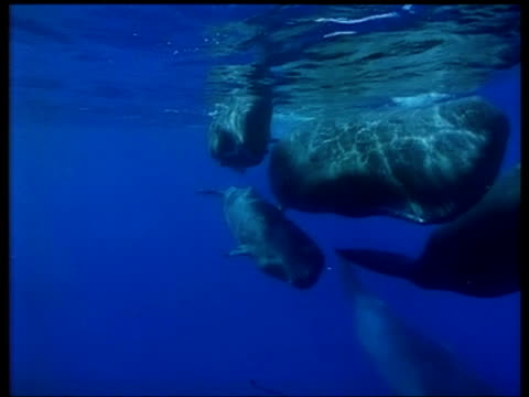 pod of sperm whale swim past camera, azores - sperm whale stock videos and b-roll footage