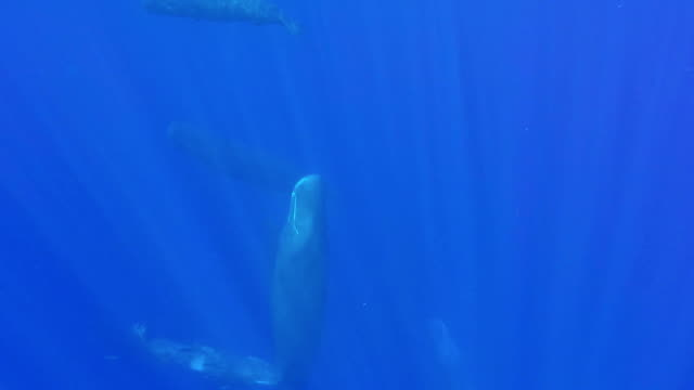 pod of sperm whales resting vertically just below the surface, one has her calf rubbing it's head on her body, north western coast of mauritius. - cetaceo video stock e b–roll