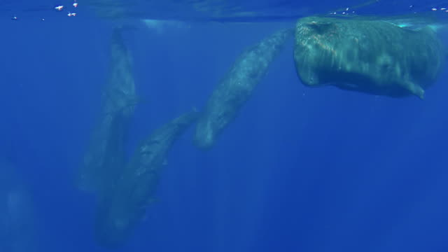 pod of sperm whales swim towards the camera then dive, north western coast of mauritius. - sperm whale stock videos and b-roll footage