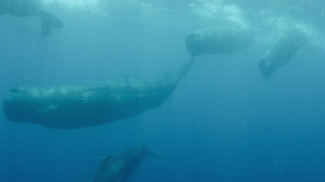 pod of sperm whales swimming, sri lanka. - sperm whale stock videos & royalty-free footage