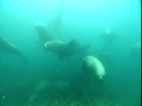 a pod of steller's sea lions plays in telegraph cove off vancouver island. - ダイビング用のフィン点の映像素材/bロール