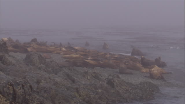 A pod of Steller's Sea lions relax and swim on a rocky coastal area. Available in HD.