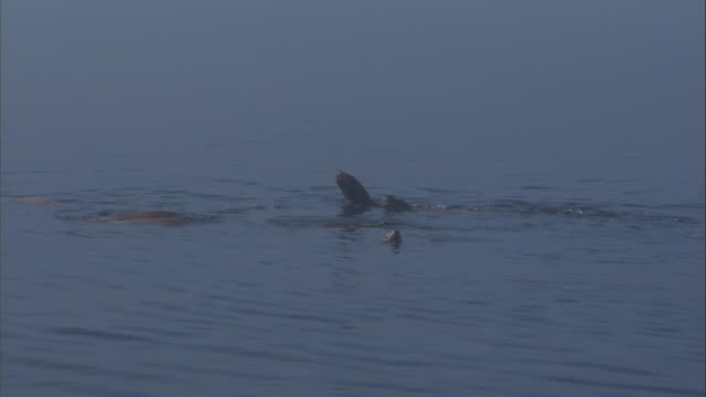 a pod of steller's sea lions swim on the surface of the gastineau channel. available in hd. - 浮き上がる点の映像素材/bロール