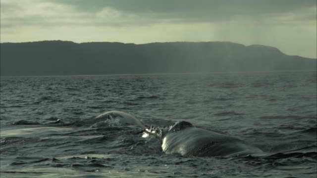 a pod of whales blows water and slaps their flukes on the atlantic ocean off the coast of newfoundland. - pod of whales stock videos & royalty-free footage