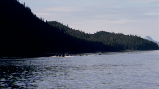 a pod of whales breaches just off alaska's forested coast. - pod of whales stock videos & royalty-free footage