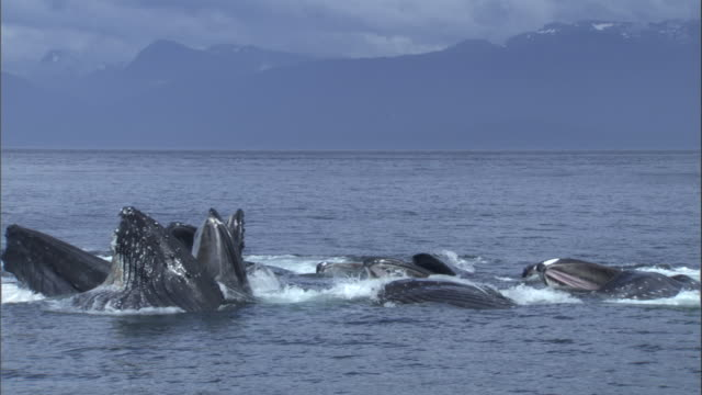 A pod of whales feed with their heads above the ocean's surface. Available in HD.