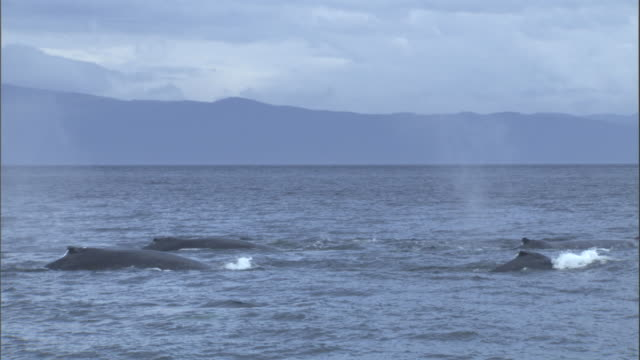 a pod of whales spout, then dive. available in hd. - pod of whales stock videos & royalty-free footage