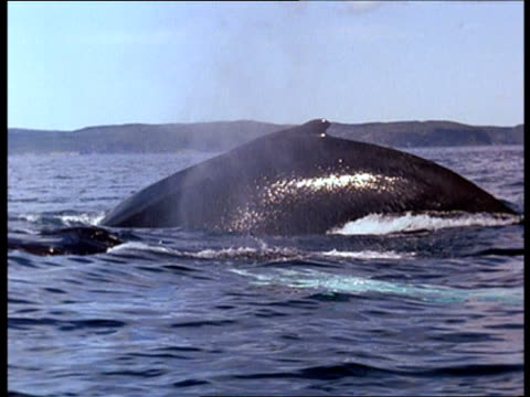 a pod of whales surfaces for air, then dives. - sidoflik bildbanksvideor och videomaterial från bakom kulisserna