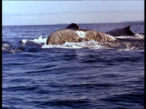 a pod of whales surfaces for air then dives. - sidoflik bildbanksvideor och videomaterial från bakom kulisserna