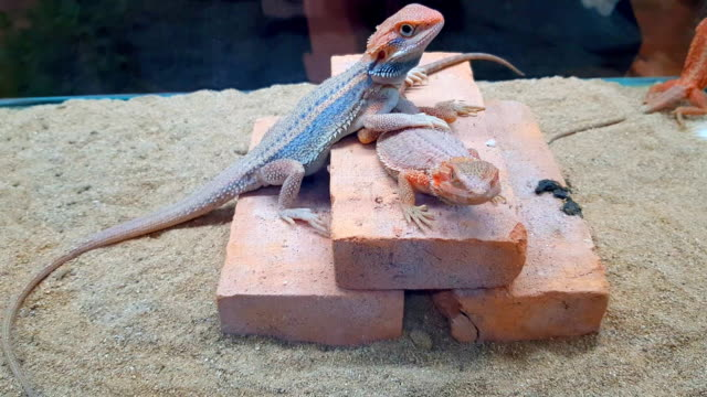 pogona vitticeps with light green skin walks in nature - reptile stock videos and b-roll footage