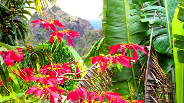 Poinsettia in Reunion Island - Mafate cirque