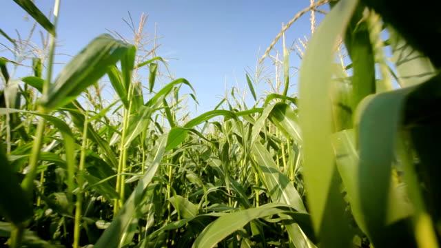 視点で cornfield