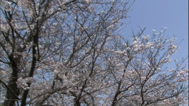 vídeos y material grabado en eventos de stock de point of view low angle shot of cherry blossoms filmed from the boat. - prefectura de fukuoka