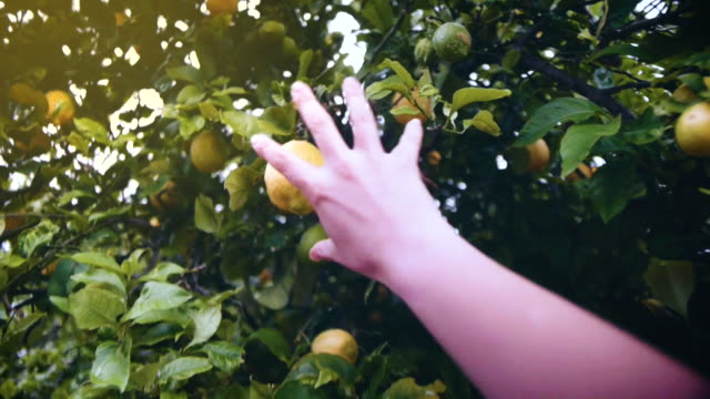 point of view of a woman's hand picking a lemon from a tree in summer. - lemon stock videos & royalty-free footage