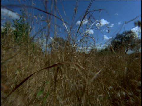 vídeos y material grabado en eventos de stock de point of view of an animal stalking through dry grass on savanna. - animales acechando
