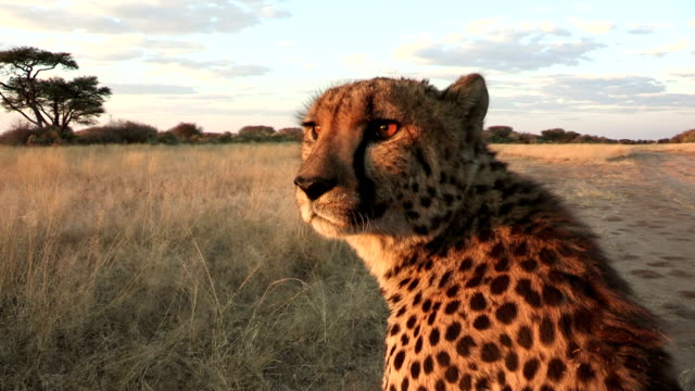 point of view of cheetah looking over grassy plains - サファリ点の映像素材/bロール