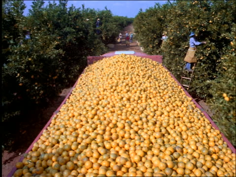 point of view of truck filled with oranges driving thru orange grove with workers / Brazil
