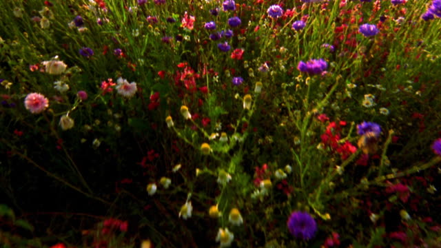 overhead point of view over field of multi-colored wildflowers / oregon - wildblume stock-videos und b-roll-filmmaterial