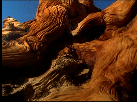 point of view over gnarly weathered wood of dead tree / great basin, nevada - 流木点の映像素材/bロール