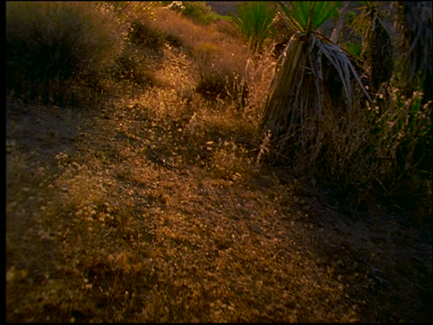 vidéos et rushes de point of view over plants and cactuses in joshua tree national monument, mojave desert / california - cinématographie