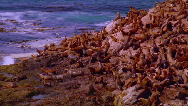vídeos de stock e filmes b-roll de aerial point of view sea lions on rocky island diving in to ocean / california - pacífico norte