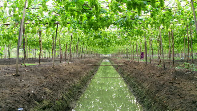 point of view through organic grape farm fields, agriculture or agro-industry concept. - organic stock videos & royalty-free footage