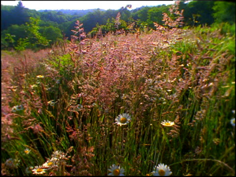 vidéos et rushes de point of view thru field of daisies and grasses - cinématographie