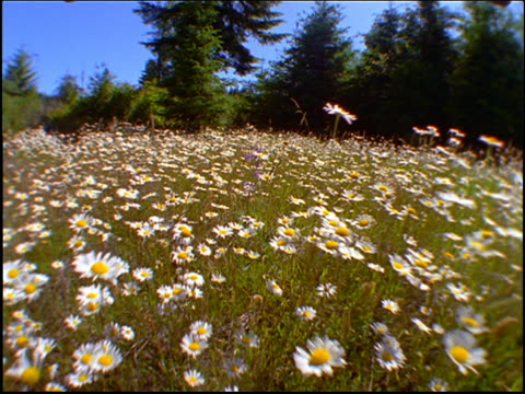 vidéos et rushes de point of view thru field of daisies toward trees / oregon - marguerite